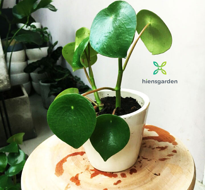 Peperomia polybotrya (Coin Leaf Peperomia)